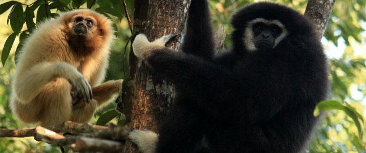 Foto 7 gibbon