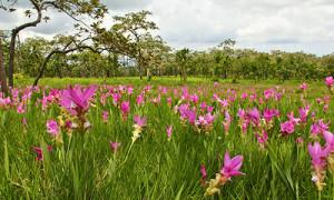 Blooming Festival 2015 (Siam Tulip)
