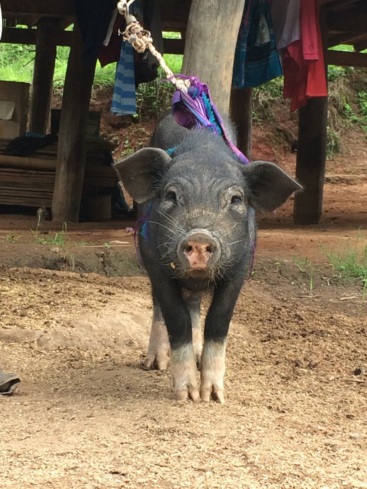 El Blog de Tailandia - Cerdo - Principal