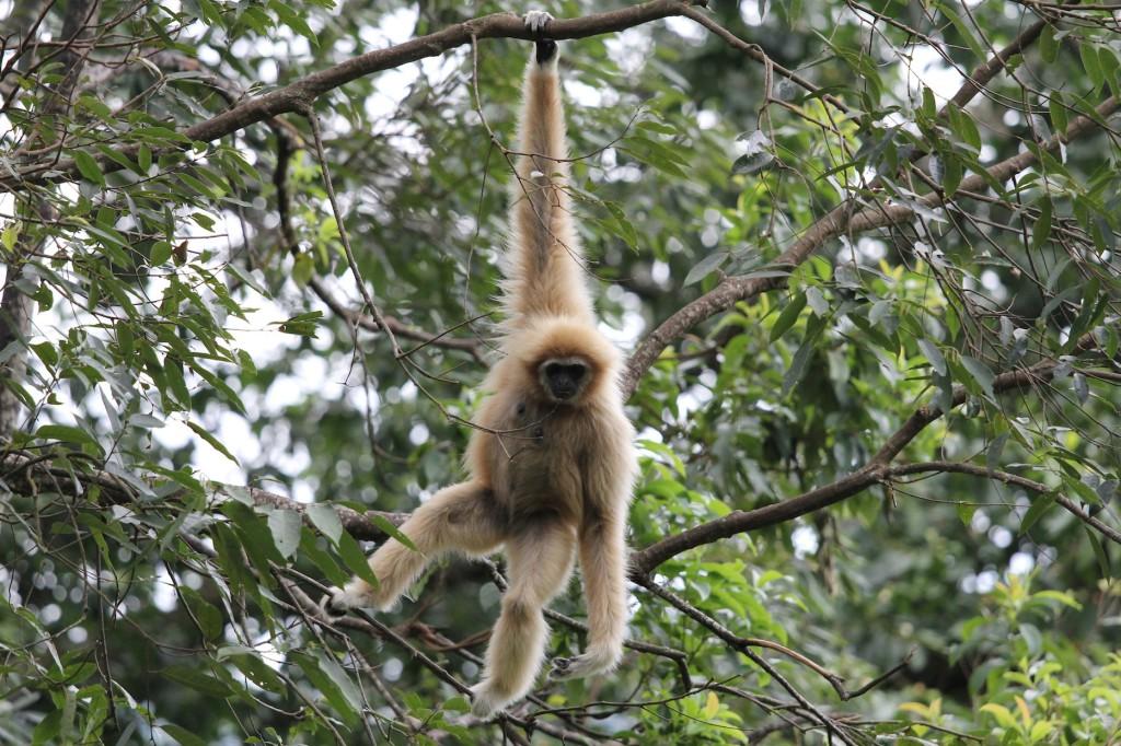 el-blog-de-tailandia-gibbon