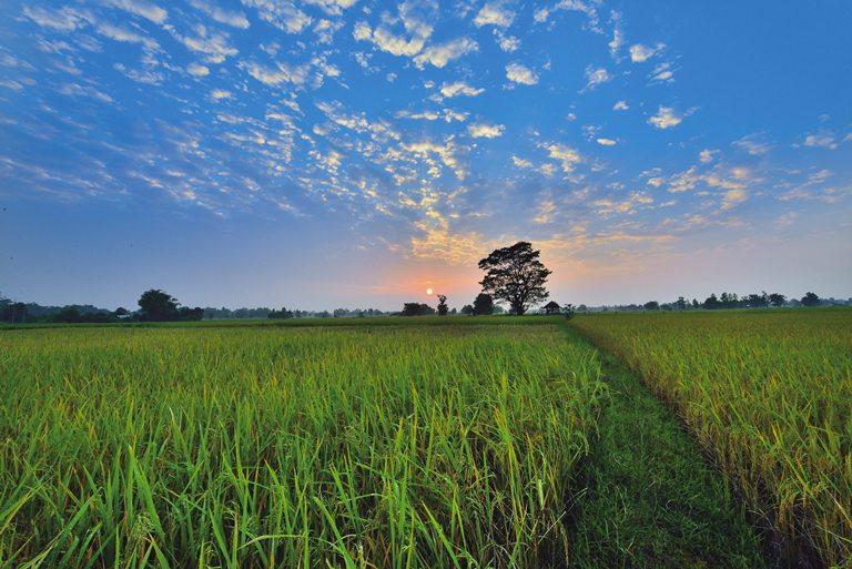 El Blog de Tailandia - Plantando arroz parte 2 - destacada_