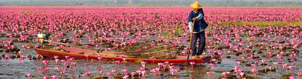 Mar de loto en Udon Thani_Tailandia