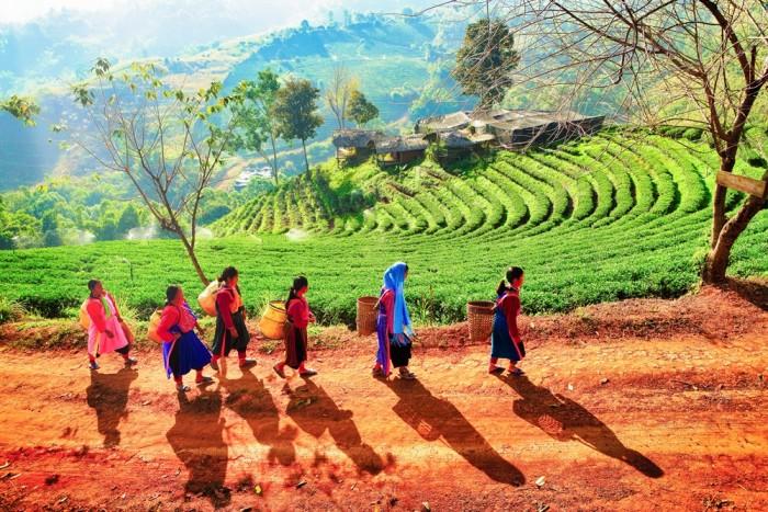 Chok Jamroean Tea Plantation on Doi Mae Salong, Chiang Rai