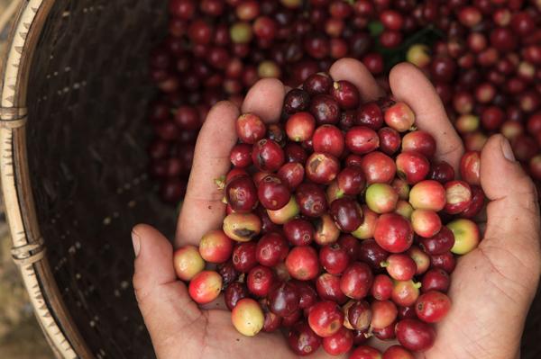 Café Premium en las colinas de Chiang Rai