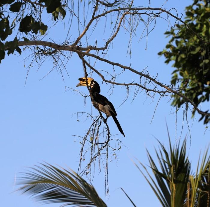 Turismo de Tailandia - Paradee Hornbill